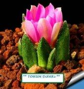 Peri Succulents Pembe Çiçekli Kaktüs Tohumu 10 *