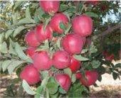 Starkrimsaon Delicious Elma Fidanı Tüplü