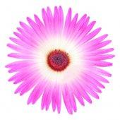 Buz Çiçeği