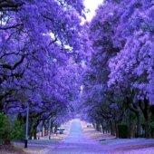 Tüplü Jacaranda(Jakaranda) Ağacı Fidanı (120 200 Cm)