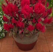 Celosia Argentea Scarlet Çiçeği Fidesi (5 Adet)