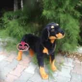 Peluş Guard Rottweiler Köpek 85 Cm Ayakta Köpek