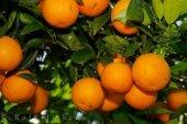 Antalya Portakalı Valencia 5kg 100 Doğal