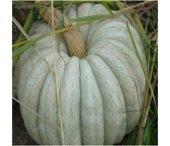 Arıcan 97 Beyaz Balkabağı Tohumu 1 Kg 4.000 Adet T...
