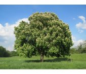 At Kestanesi Tohumu Beyaz Çiçekli 50 Adet