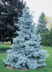 Mavi Ladin Tohumu 500 Adet Çam Tohumu Mavi Ladin Çam Ağacı Tohumu Ağaç Tohumu