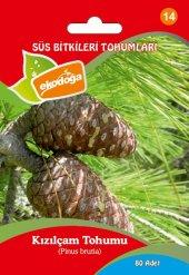 Kızılçam Ağacı Tohumu 1 Paket (80 Adet) Pinus Brutia Tohumu Kızılçam Tohumu Çam Tohum Kızılçam