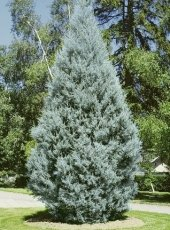 Mavi Servi Tohumu 5 Gr (500 Adet) Selvi Ağacı Tohumu Cupresssus Arizonica Çamı Tohumu Arizona Servisi Tohumu