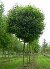 Süs Bitkisi Tohumu Yalancı Akasya Tohumu 25 Gr (1.000 Adet) Robinia Pseudoacacia Tohumu Yalancı Akasya Bitkisi Tohumu