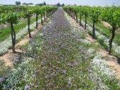 Arı Otu Tohumu 10 Kg Faselya Tohumu Fazelya Tohumu Ballı Bitkiler Tohumu Ballı Bitki Faselya Tohumu