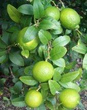 Meksika Misket Limon 2.5 Yaş 40 50 Cm (Saksılık Tam Bodur)