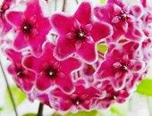 Hoya Carnosa Pink,kokulu Mum Çiçeği
