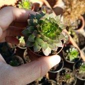 Serpervivum Tectorum Sunset Sukulent (Köklüdür Ve İlaçsız Yetişmiştir)