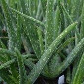 Aloevera Bitkisi 20 25 Cm Doğal Krem Şifalı Bitki Sarısabır (Bitkiler Dekor Saksı İçinde Gönderilir)
