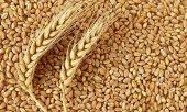 Buğday 1 Kg Yem Tavuk,hindi,güvercin