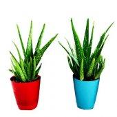 Aloevera Bitkisi 25 30 Cm Anaç Ve 4 5 Yavrulu Doğal Krem Şifalı Bitki Sarısabır