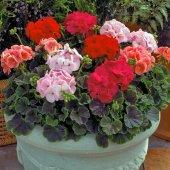 Karışık Renkli Sardunya Çiçeği Tohumu + Çimlendirme Torfu