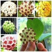Mum Çiçeği Hoya Tohumu