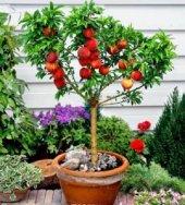 Bonsai Yapılabilir Cüce Şeftali Ağacı Tohumu
